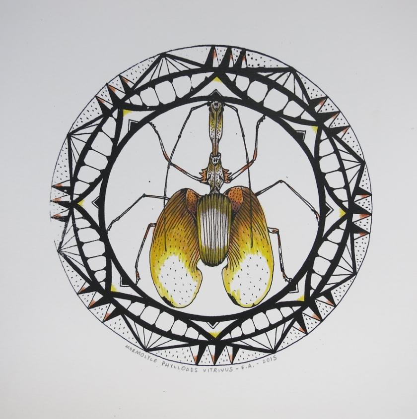 mormolyce phyllodes vitrivus
